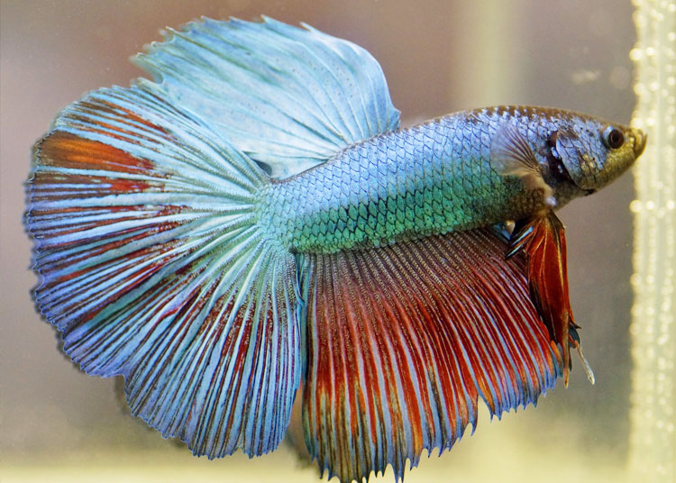 betta-fish-water-type